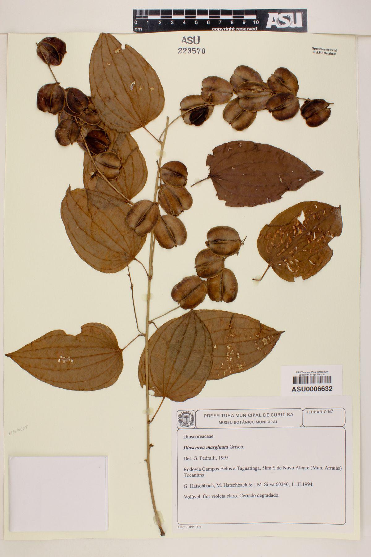 Dioscorea marginata image