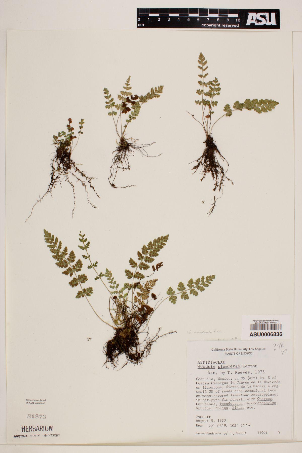 Woodsia image
