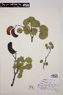 Acacia crassifolia image