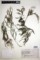 Image of Juniperus flaccida