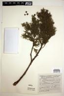 Image of Juniperus jaliscana