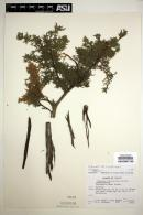 Image of Juniperus coahuilensis