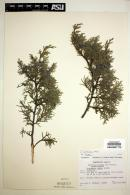 Image of Juniperus saltillensis