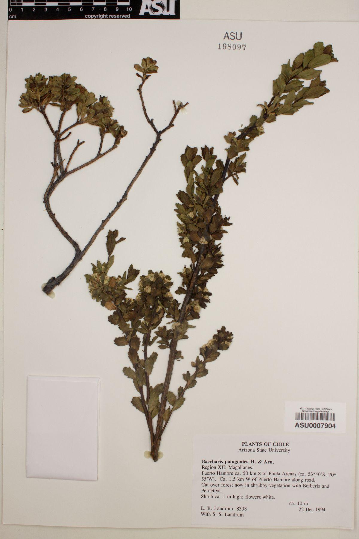 Baccharis patagonica image