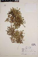 Baccharis magellanica image
