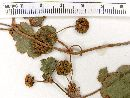 Hydrocotyle poeppigii image