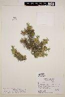 Mulinum spinosum image