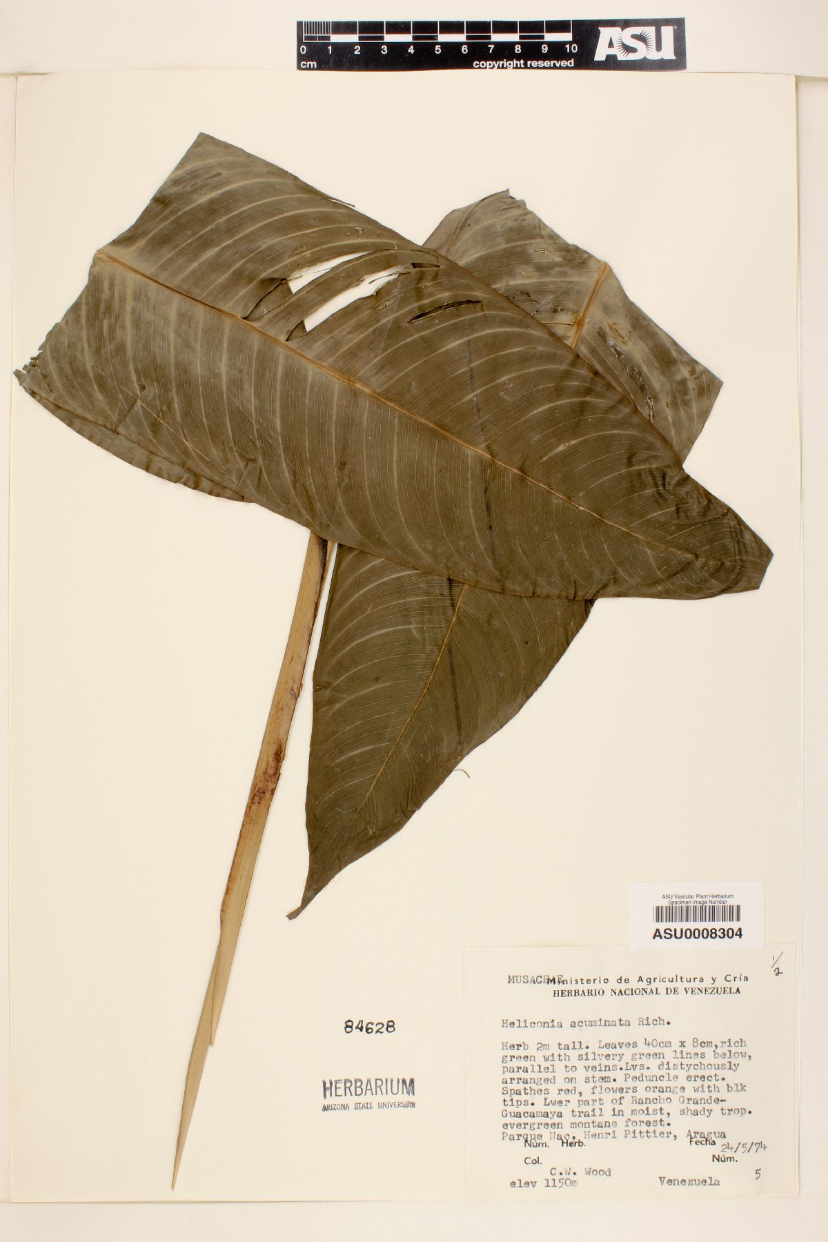 Heliconia acuminata image