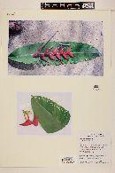Heliconia orthotricha image
