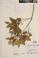 Blepharocalyx salicifolius image