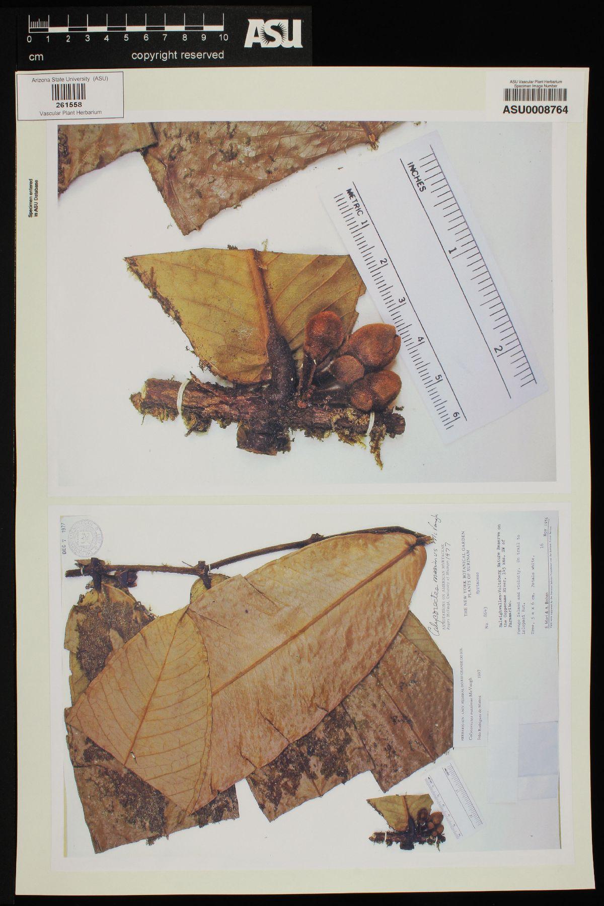 Calycorectes maximus image