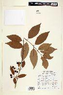 Campomanesia aromatica image