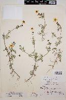 Bidens anthemoides image