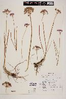 Allium eurotophilum image