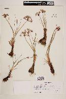 Allium haematochiton image