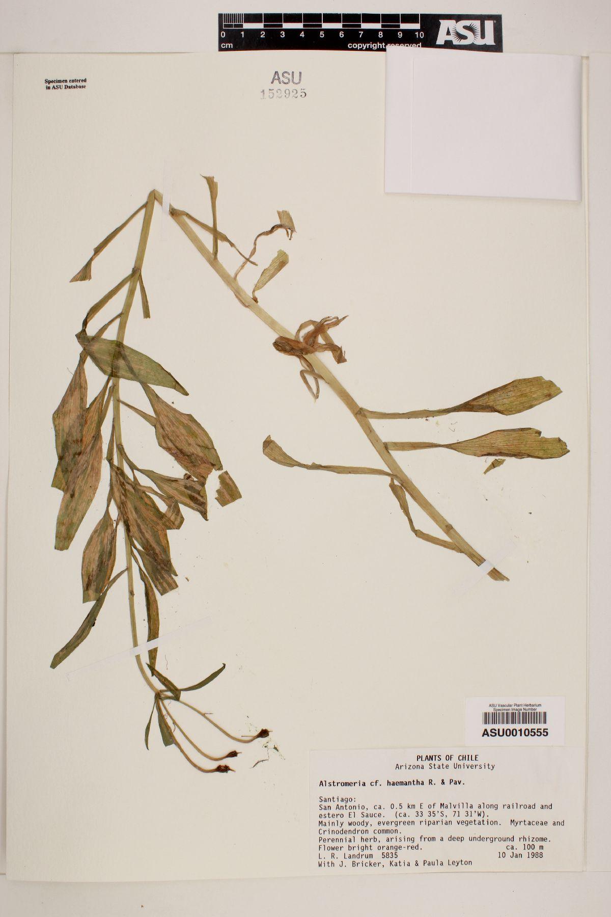 Alstroemeria haemantha image