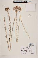 Image of Alstroemeria revoluta