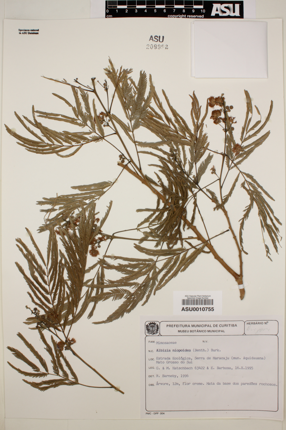Albizia niopoides image