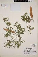 Image of Acacia visco