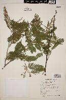 Acacia macracantha image