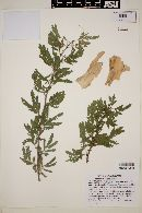 Image of Acacia albicorticata