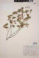 Image of Acacia velvae