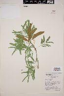 Acacia russelliana image