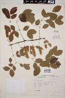 Image of Acacia rosei