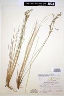 Image of Calamagrostis schiedeana