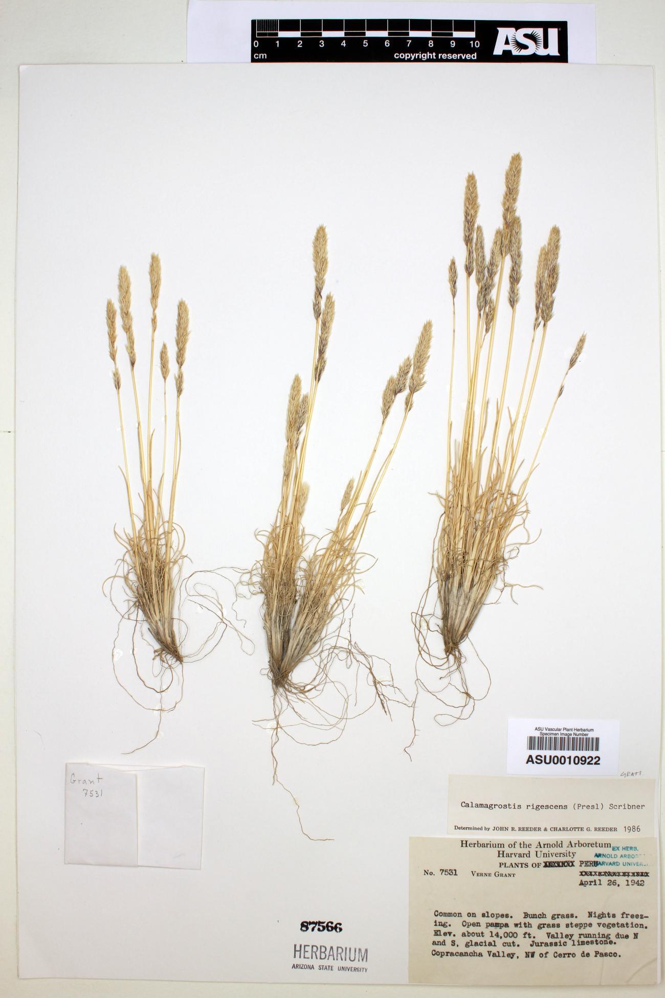Calamagrostis rigescens image