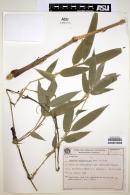 Image of Chusquea anelytroides