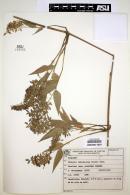 Image of Chusquea bambusoides
