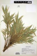 Image of Chusquea macrostachya