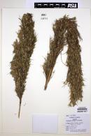 Image of Chusquea nutans
