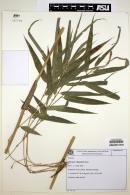 Image of Chusquea oligophylla