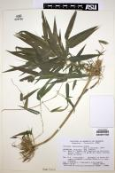 Image of Chusquea ramosissima