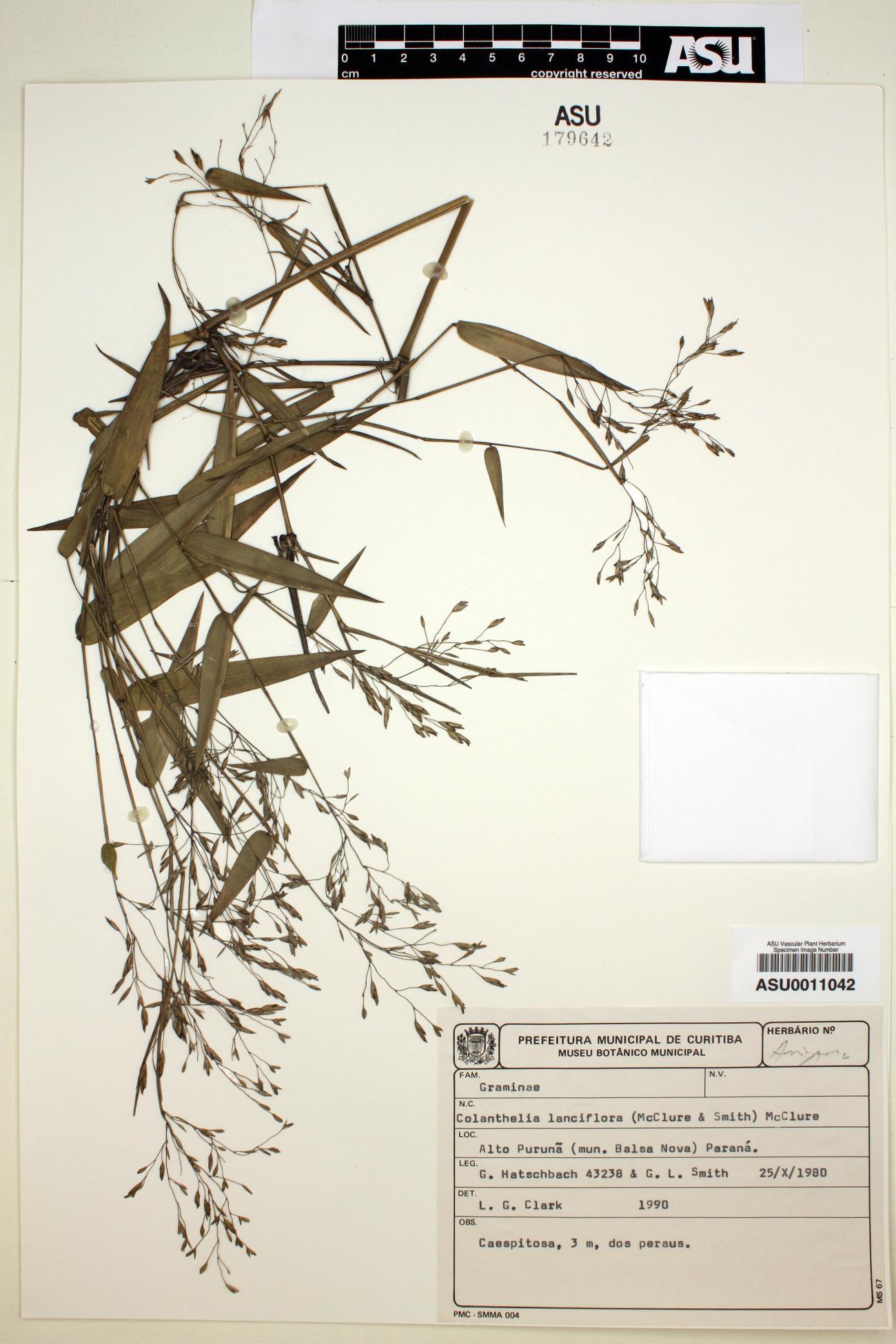 Colanthelia lanciflora image