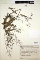 Image of Colanthelia lanciflora