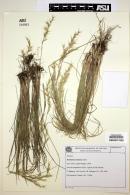 Image of Danthonia montana