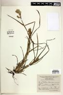 Eleusine multiflora image