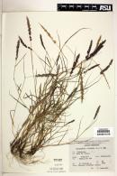 Eragrostis ciliaris image