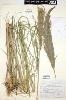 Image of Muhlenbergia robusta