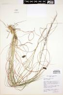 Image of Muhlenbergia scoparia