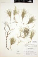 Image of Muhlenbergia villiflora