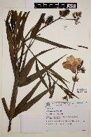 Image of Allamanda angustifolia