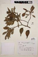 Image of Aspidosperma parvifolium