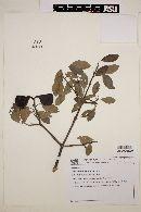 Image of Aspidosperma argenteum