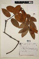 Image of Odontadenia lutea