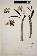 Image of Plumeria acutifolia