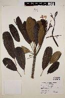 Image of Plumeria tuberculata